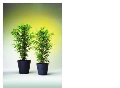 Bambus 5-fach Naturstamm 150cm