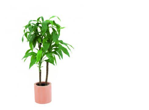 Dracaena 4 Stämme grün 66 Blätter 90cm